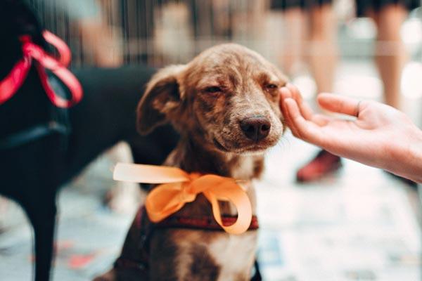 dog wearing ribbon being pet
